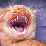How to Clean Your Cat's Teeth at Home: 3 Natural Cat Teeth Cleaning Solutions