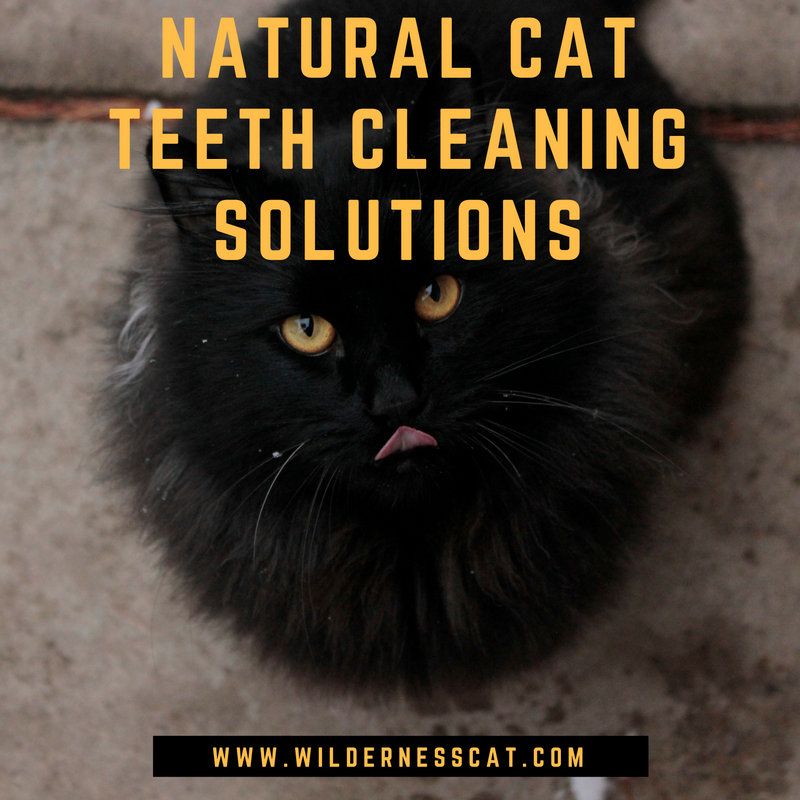 natural cat teeth cleaning solutions for good feline dental hygiene