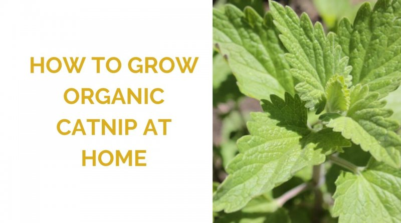 How to grow catnip at home