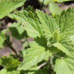 How to Grow Organic Catnip at Home