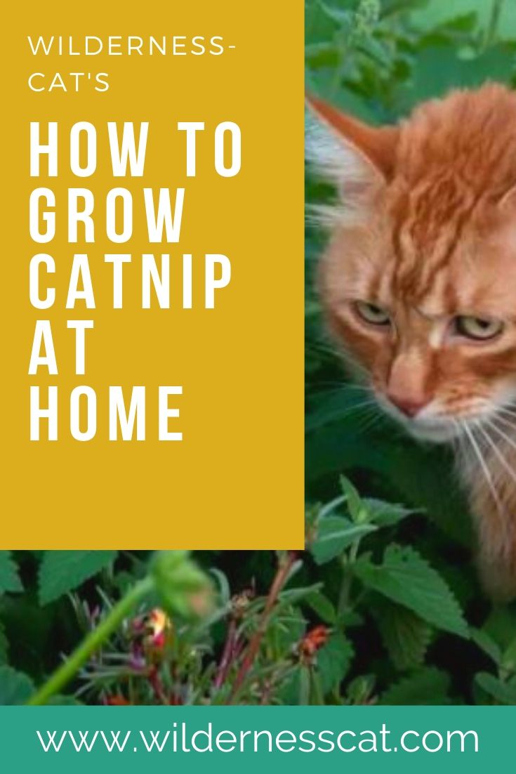 Grow catnip at home pin 2