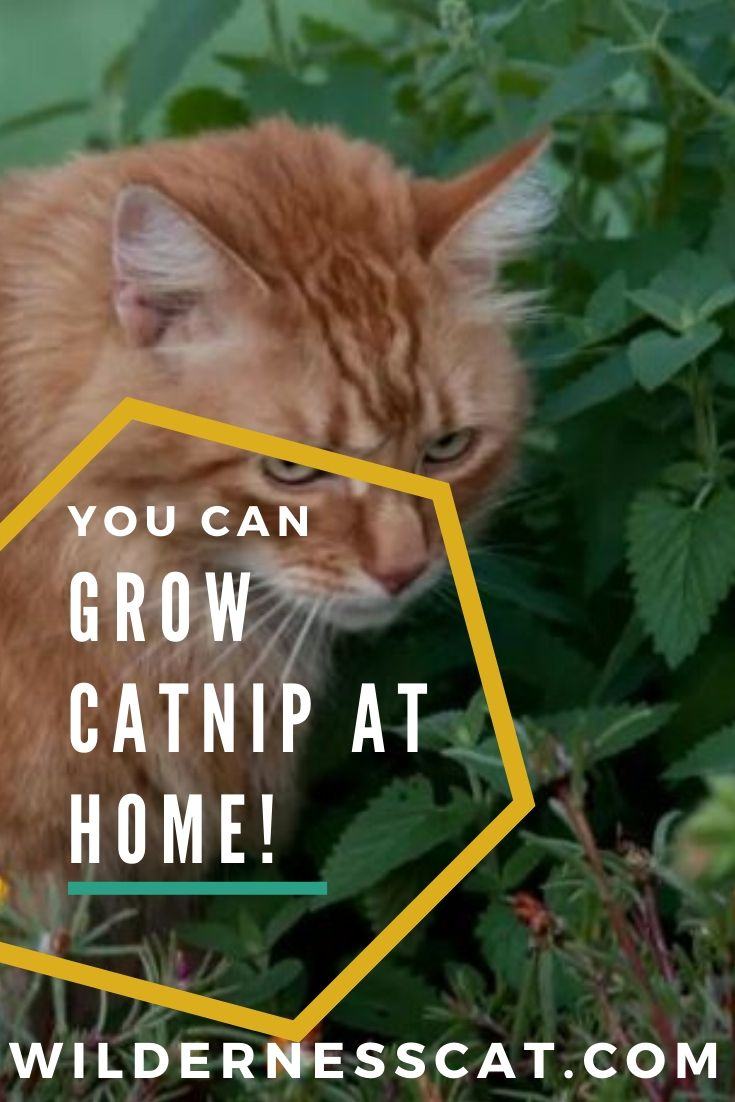 Grow catnip at home pin 1