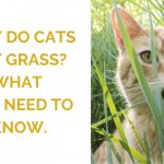 Why Do Cats Eat Grass? What You Need to Know