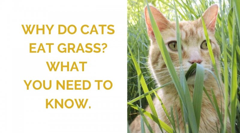 Why do cats eat grass featured image.