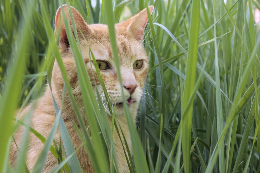 Why do cats eat grass? Wessie in the grass.