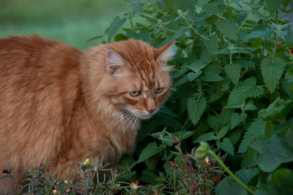 cat next to catnip growing at home