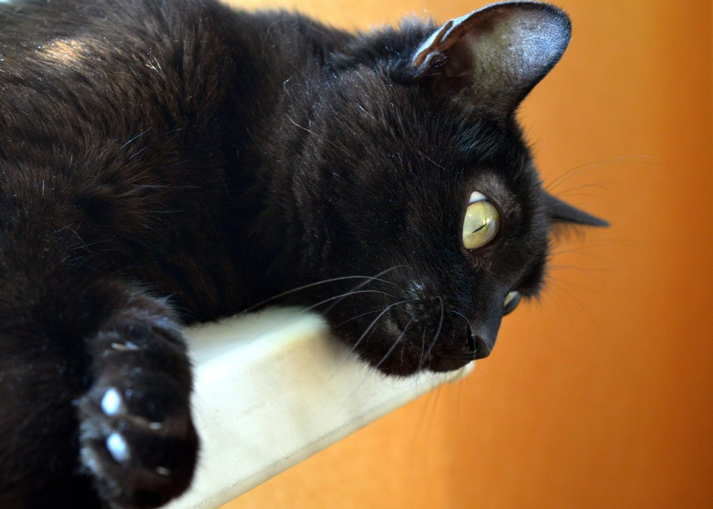 dandruff cat
