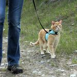 Should I Walk My Cat? 5 Reasons Walking Cats is Awesome