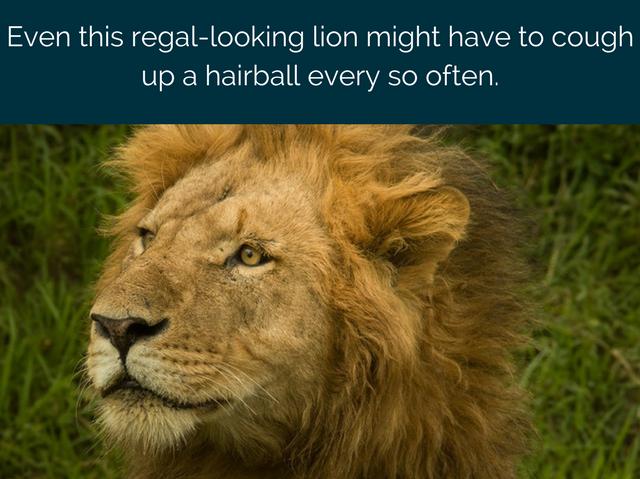 lion cat hairballs