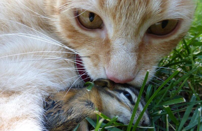 cat and chipmunk prey