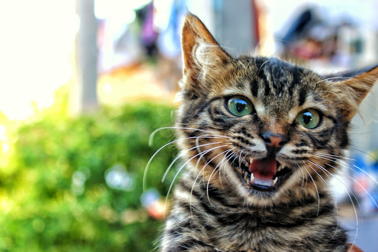 Do I Need to Clean My Cat's Teeth? Cat Teeth Cleaning is Important.