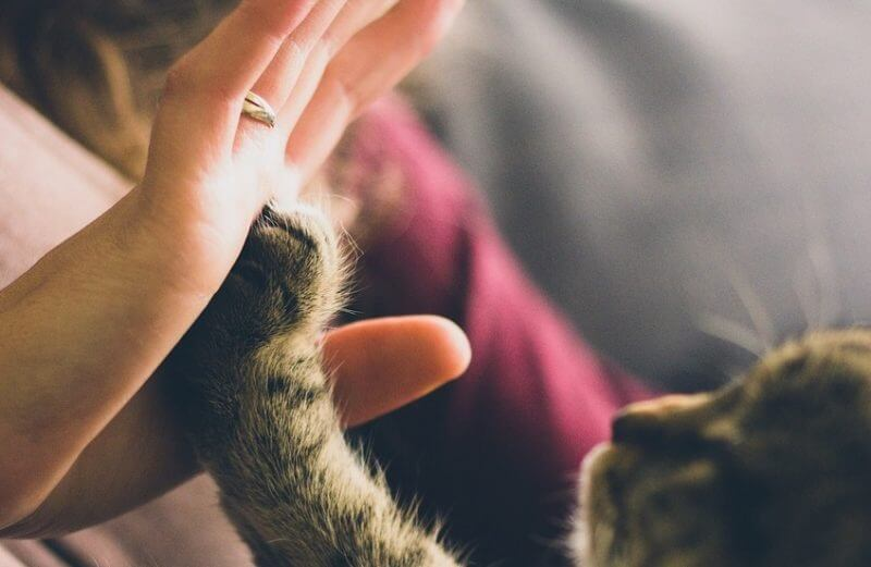 cat clicker training high five