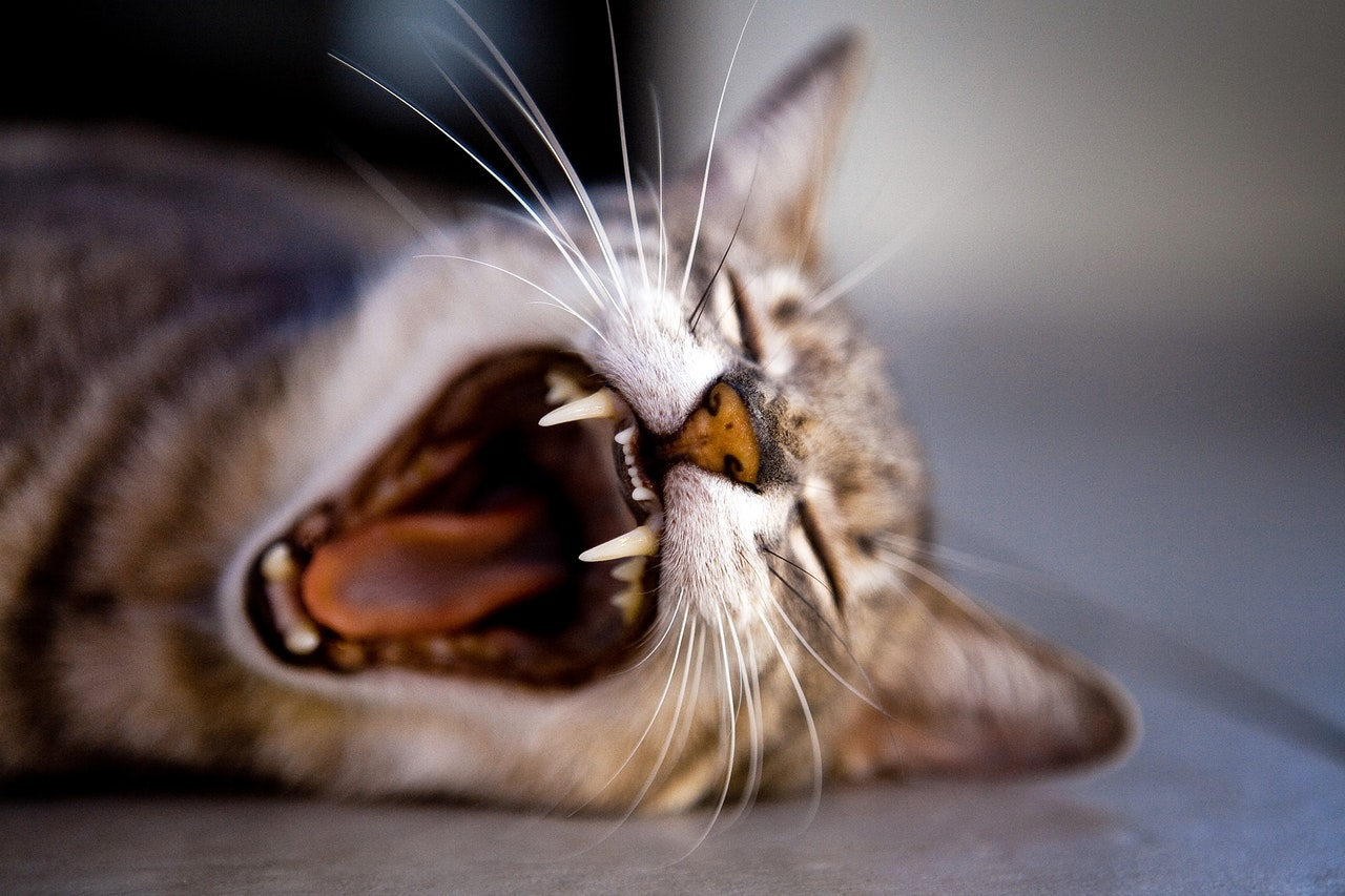 Debunked: The Myth of Dry Cat Food for Dental Health