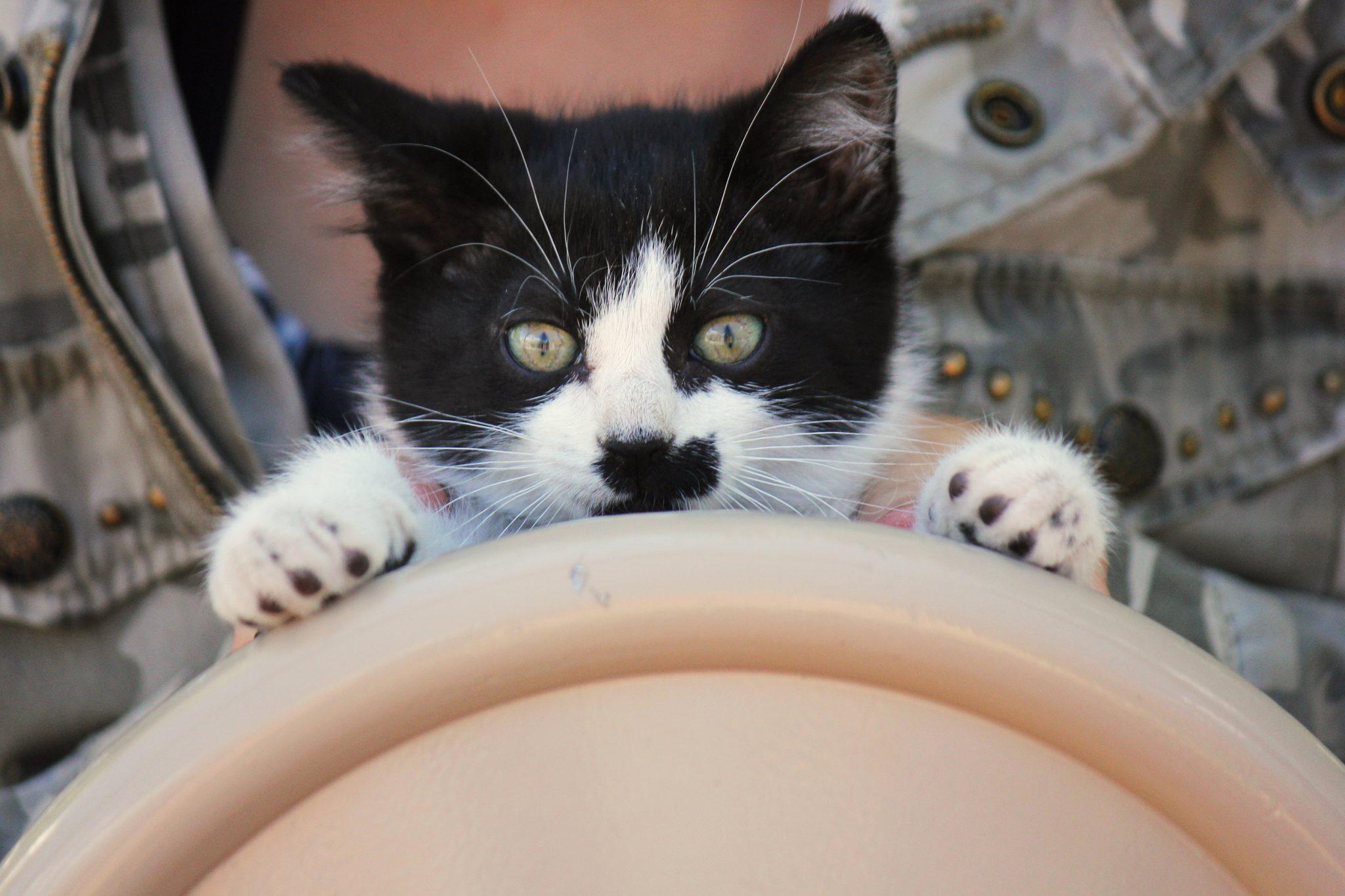 Sedating a cat with benadryl ingredients