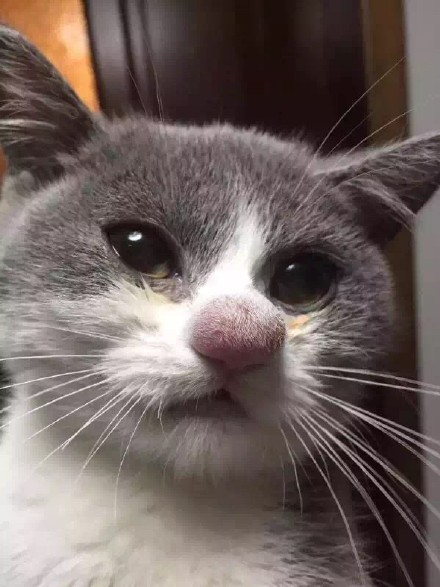 cat stung by bee on nose