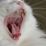 Cat Bad Breath: Causes and Natural Remedies for Bad Breath in Cats