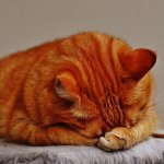 What Is Feline Acne? Feline Acne Home Remedy