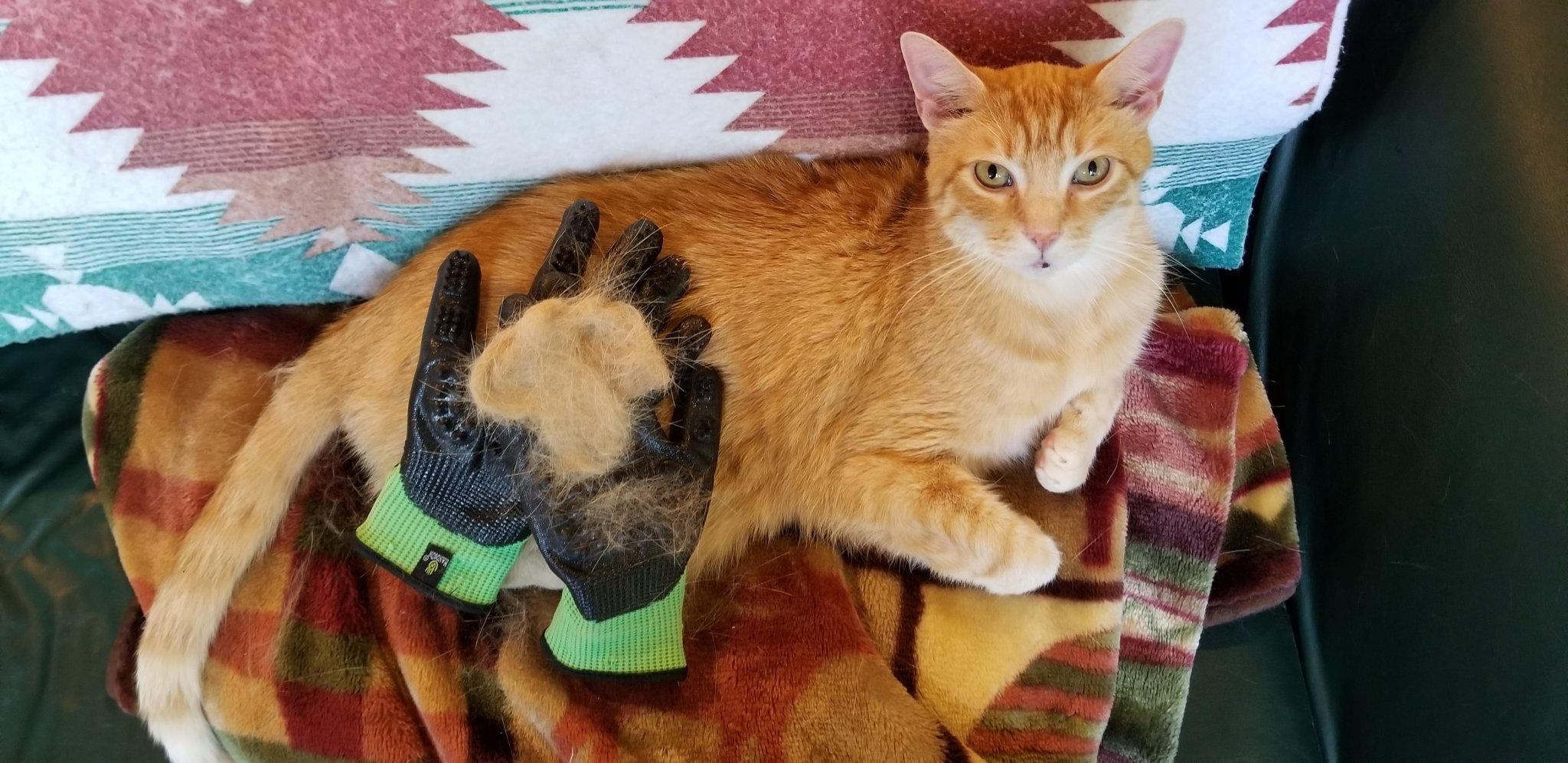 wessie after using the hands on grooming glove - plenty of fur has been removed