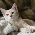 Allergy Medicine for Cats: What Can I Give My Cat for Allergies?