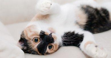 Cat Feline Arthritis