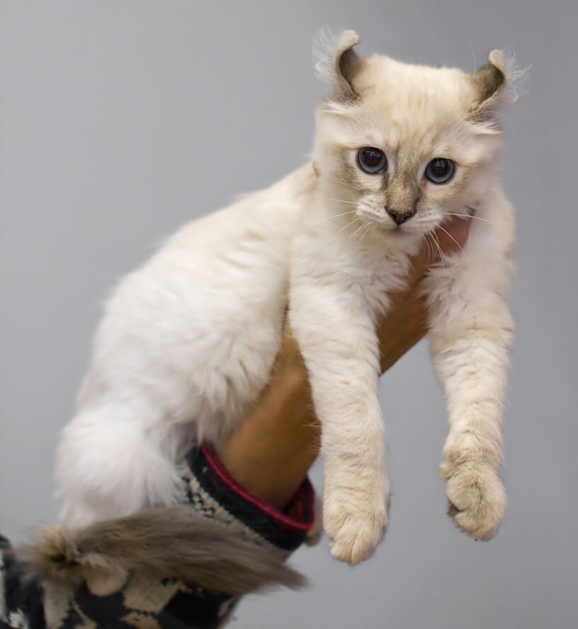 American Curl Small Cat Breeds