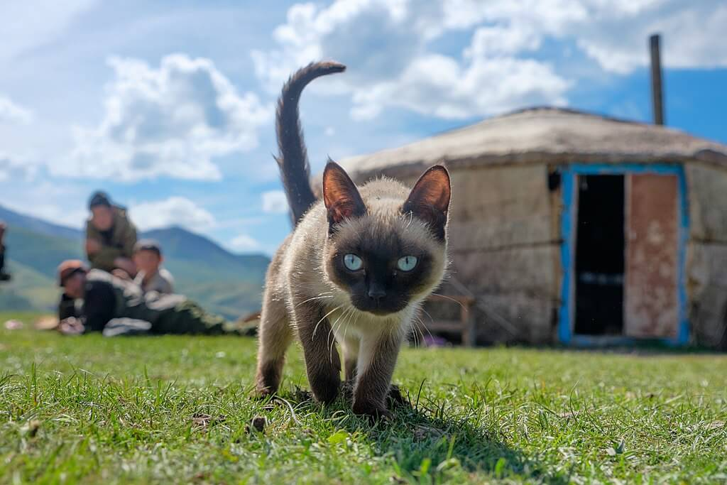 Siamese Small Cat Breed