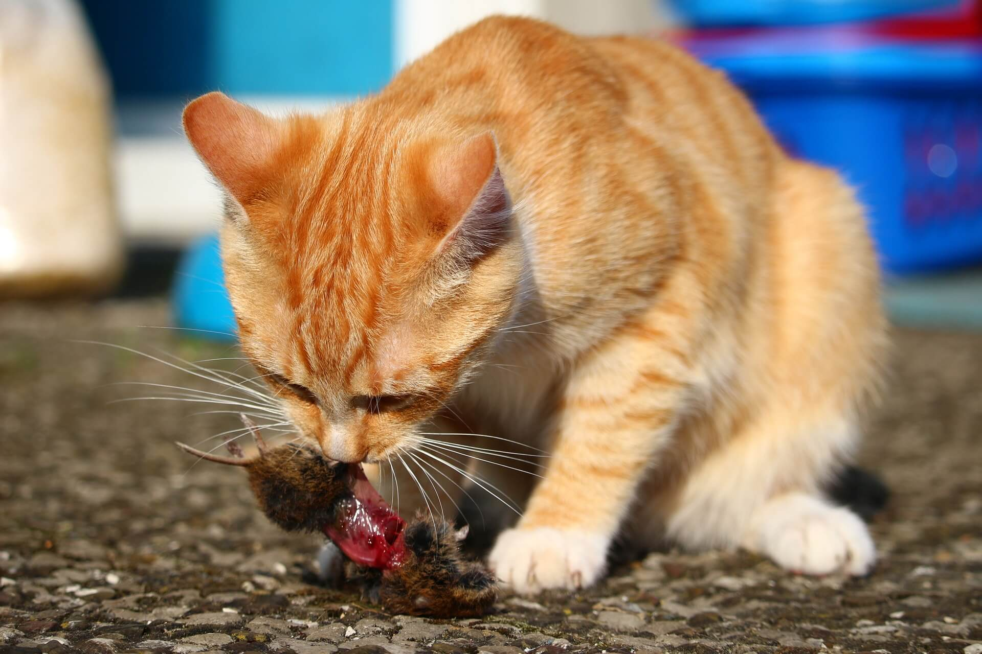 Cat Constipation Treatment: Cat Eats Mouse Fiber