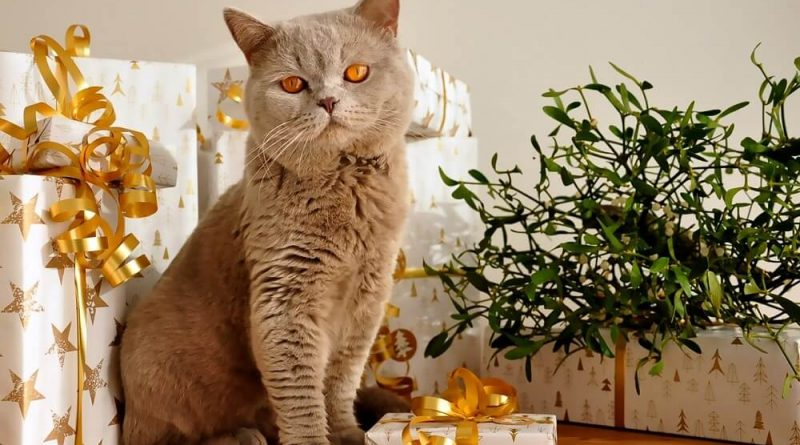 Best Christmas Gifts for Cats British Shorthair