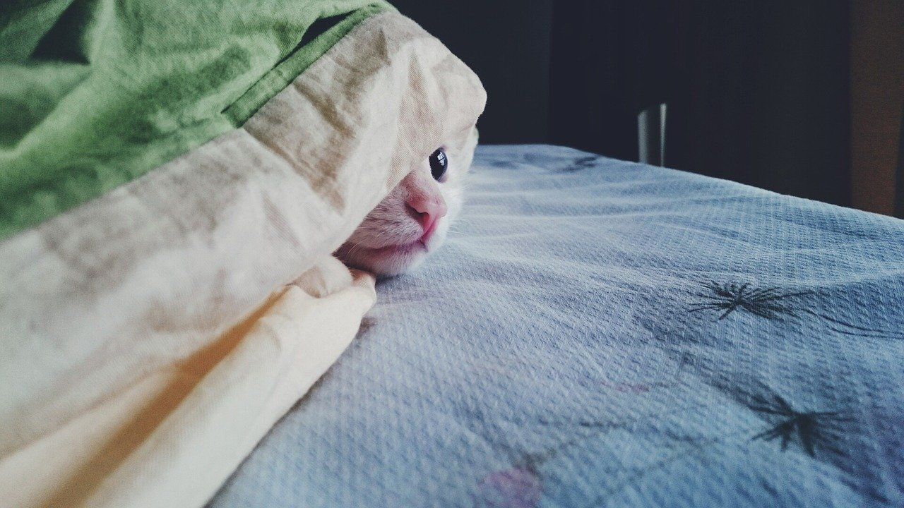 cat hiding under covers