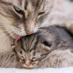 Is Your Cat Pregnant? What to Expect When Your Cat Is Expecting