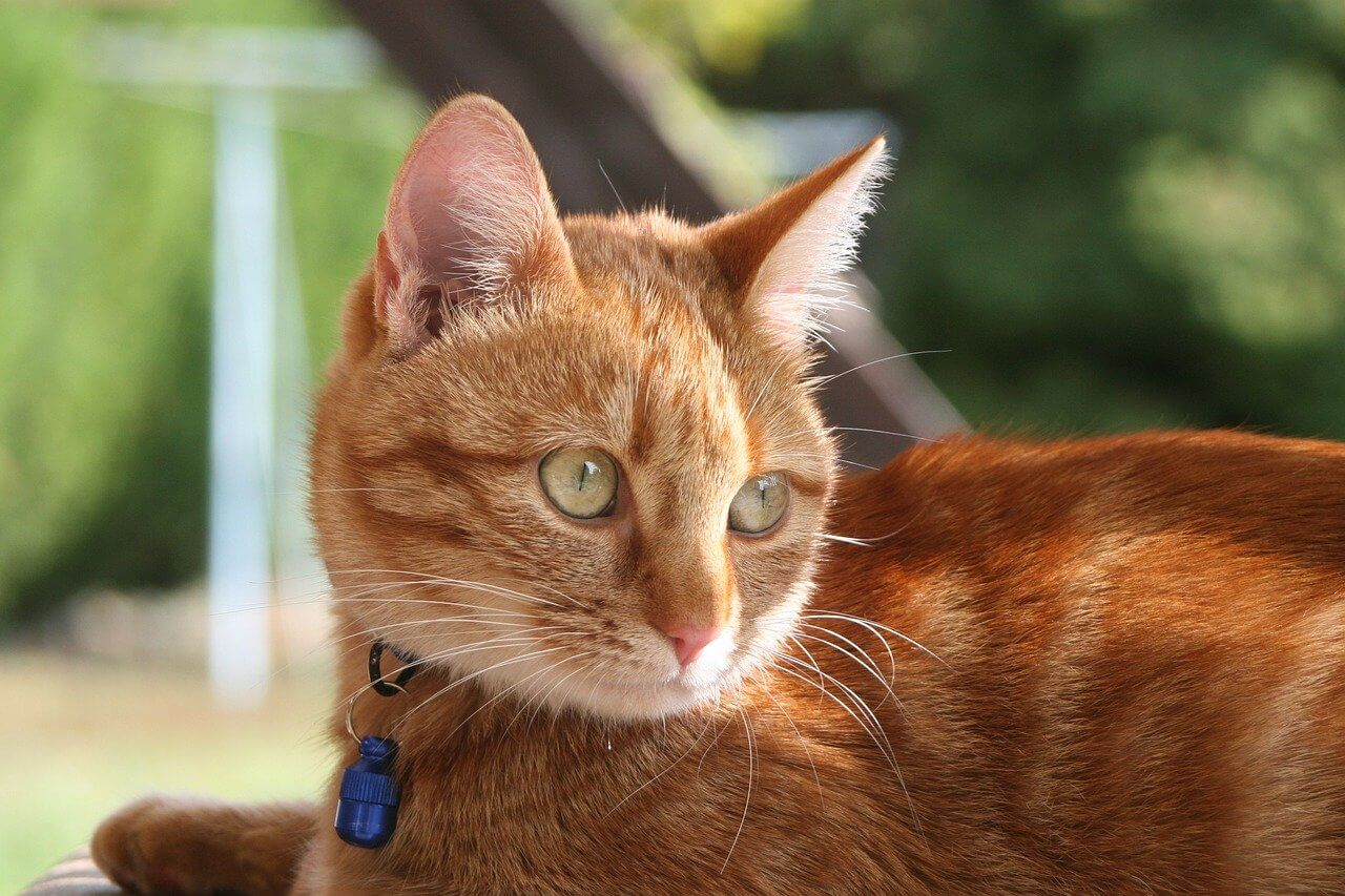 cat with collar id tag